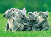 koalaconga.jpg